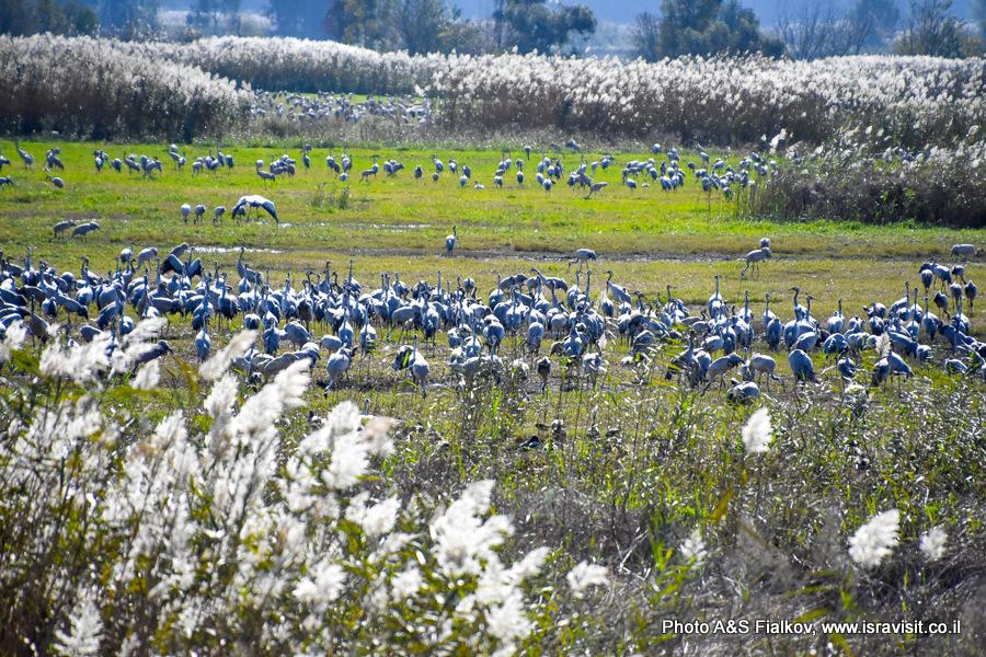 Стаи журавлей в заповеднике птиц Хула.