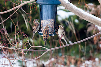 Photo: House Sparrows