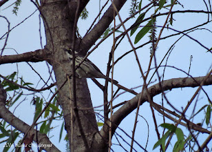 Photo: Black-throated Gray Warbler Dairy Mart - 4-23-16 Sonja Beeve (Luna Nightwynd)