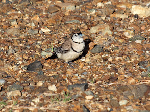 Photo: Double-barred Finch