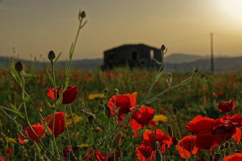 Poppies di Yasis