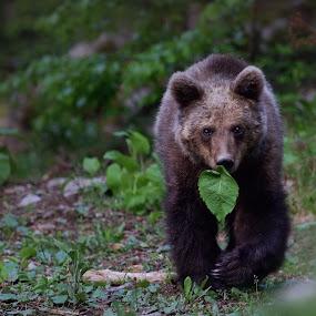 Bear vegetarian:) by Zeljko Padavic - Animals Other Mammals ( bear, adventure, wildlife, forest )