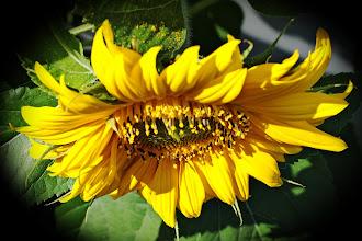 Photo: Mom's sunflower