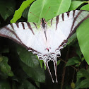 Short-lined Kite Swallowtail