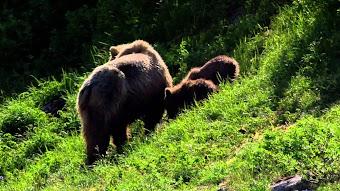Grizzly Showdown