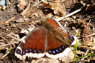 Photo: Mourning Cloak Butterfly: http://linnet.geog.ubc.ca/efauna/Atlas/Atlas.aspx?sciname=Nymphalis%20antiopa