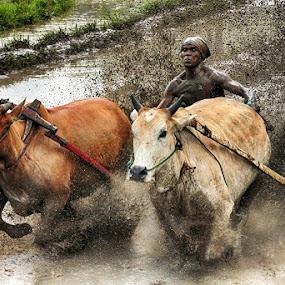 Pacu Jawi (Cow Race) by Syafriadi S Yatim - Sports & Fitness Other Sports ( #pacu_jawi #cow_race #batusangkar #tanah_datar #indonesia )