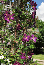 Photo: Clematis jackmanii purpurea 3