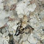 Blue-winged grasshopper