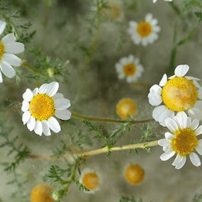 margaritas by Lourdes Ortega Poza - Flowers Flowers in the Wild ( flores, naturaleza, amarillo, blancas, margarita, verde, primavera )