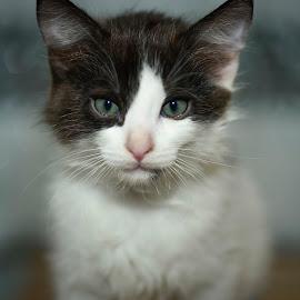 look into my eyes by Paulo Inocencio - Animals - Cats Portraits