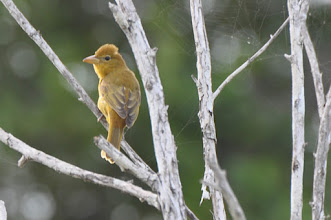 Photo: Summer Tanager (Sommertangare); Bacalar, QR