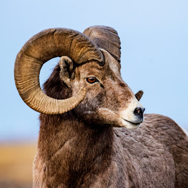 Mountain Monarch by Ty Stockton - Animals Other Mammals ( bighorn sheep, bighorns, ovis canadensis, wildlife, ram )