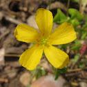 Slender Yellow Woodsorrel