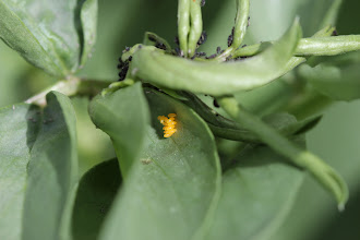 Photo: Ladybird eggs, soon to turn into larvae which will eat the aphids too