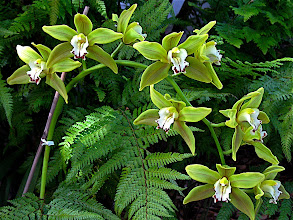 Photo: green cymbidium