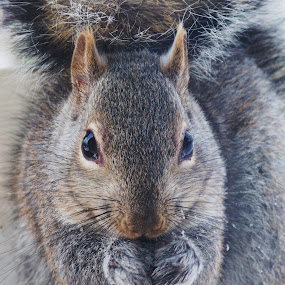 Lunch time by Carol Keskitalo - Novices Only Wildlife ( winter, gray squirrel, upclose wildlife, wildlife, squirrel )