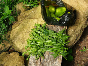 Photo: Wild cucumber fruits and fresh sprouts to be used as vegetable.