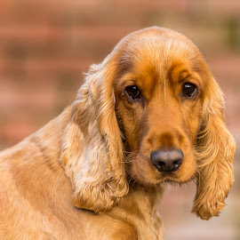 Golden Cocker Spaniel by Mike Crompton - Animals - Dogs Portraits ( spaniel, cocker spaniel, dog )