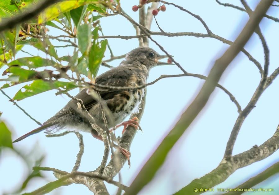 クロツグミ 幼鳥♀