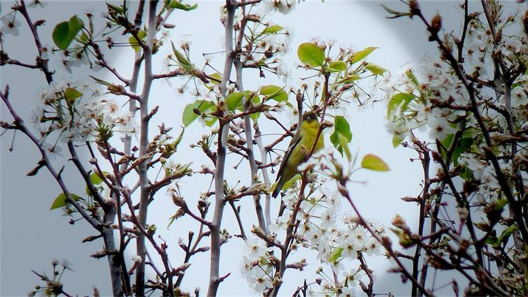 Tiny Songbird.jpg