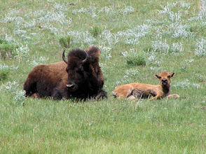 Photo: Buffalo and calf in Yellowstone National Park