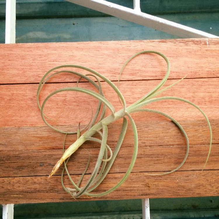 Air Plant Wonga (mallemontii x duratii)