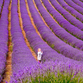 Lavender  by Jan Fox - Flowers Flower Gardens