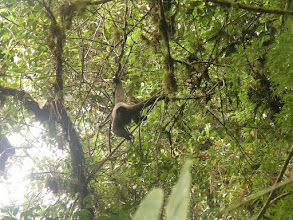 Photo: Wooly monkeys live in the cloud forest - they need all that fur to keep warm and dry