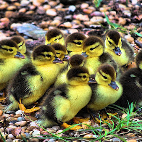 Baby Mucovy Ducks In A Huddle by Terry Davey - Animals Birds ( baby muscovy's )