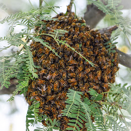 Bees by Dawn Hoehn Hagler - Animals Insects & Spiders ( tucson botanical gardens, tucson, bee, arizona, insect, garden, bee swarm )
