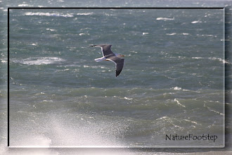 Photo: Havstrut - larus marinus - Great Black-backed Gull - Goéland marin NF Photo 121111, Cap Ghir, Morocco http://nfmoroccobirds.blogspot.se/2013/02/havstrut-larus-marinus-great-black.html