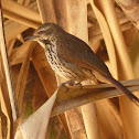Spotted Palm Thrush