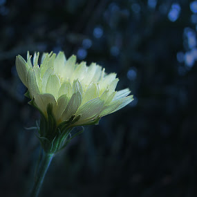 BLUE LIGHT SPECIAL by Sharon Pierson - Nature Up Close Flowers - 2011-2013 ( flower yellow pale blue bokeh,  )
