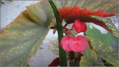 Photo: Begonie - Plaman (Begonia lucernae) - de pe Str. Salinelor - 2016.08.30