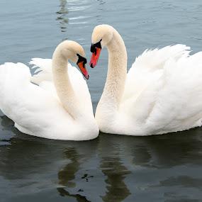 Love Swans by Alex Alex - Animals Birds ( bird, water, love, white, swan )