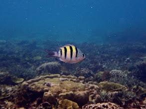 Photo: Adudefduf vaigiensis (Sergent Major Damselfish), Small Lagoon, Miniloc Island, Palawan, Philippines.