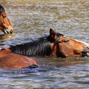 Waterplay by Deb Bulger - Animals Horses ( horseinwater, animals, equine, nature, horses, wildlife, wildhorses, saltriverwildhorses,  )