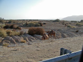 Photo: Leaving the Qumran area, we encountered a flock of camels along the road.  Sometimes camels like this are seen with a shepherd and other times they are roaming in the wilds.