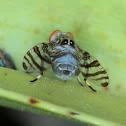 Banded signal fly with false eyes
