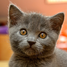 Chaton chartreux by Serge Ostrogradsky - Animals - Cats Kittens