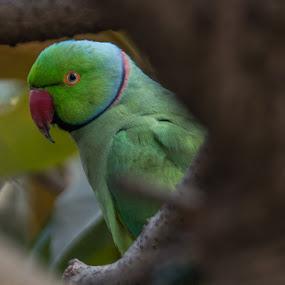 Parakreet by Rajesh Srinivasan - Animals Birds ( #rajeshsrinivasan#clicks#shakti# )