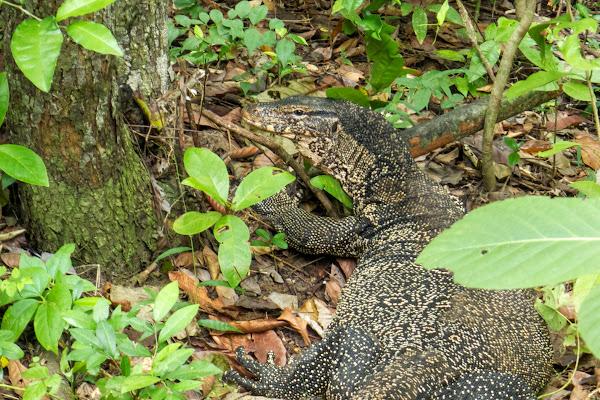 Meet the monitor lizard on Koh Hong