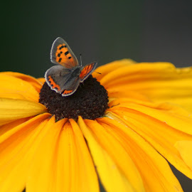 Copper on Rudbeckia by Andrew Kohn - Animals Insects & Spiders ( butterfly, nature, insect, garden, moth, flower,  )
