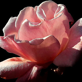 by Megi Šajn - Flowers Single Flower ( dew, up close, natural light, rose, pink flower )