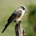N White crowned shrike