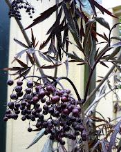 Photo: 'Black Lace' elderberry