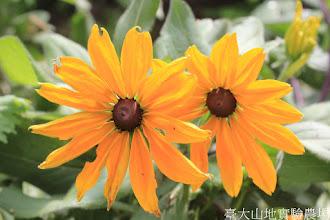 Photo: 拍攝地點: 梅峰-溫帶花卉區 拍攝植物: 金光菊 拍攝日期: 2015_10_05_FY