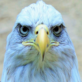 A Eagle Stare by Paul S. DeGarmo - Animals Birds ( bird, eagle, me, starring, animal,  )