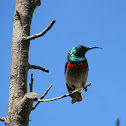 Southern Double-Collard Sunbird